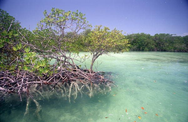 Mangrove_tree_inside_Snipes_Point_near_Key_West-e1480455830757